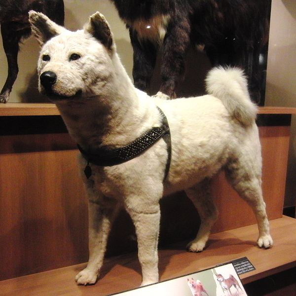 Taxidermy Of Hachiko