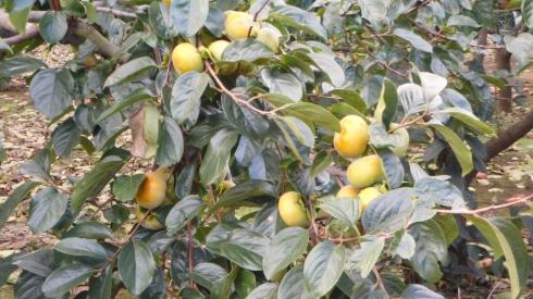 Kaki (persimmon)