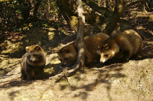tanuki photo 2 by 663highland (640x426)