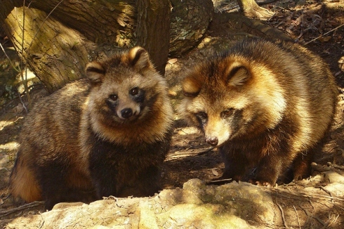 tanuki photo by 663highland (640x426)