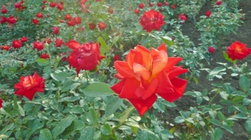 Rose 2 (640x360)