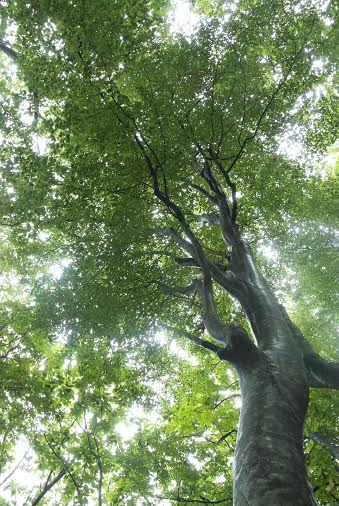 Beach tree in Shirakami-Sanchi (Aomori prefecuture)