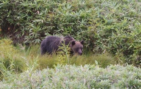 Bear in Shiretoko Peninsula (Hokkaido)