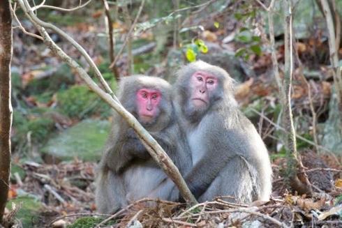 Yaku monkey in Yakushima (Kagoshima)