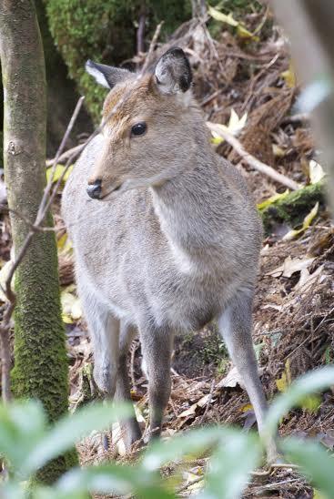 Deer in Yakushima (Kagoshima)